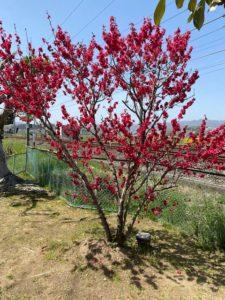 「春爛漫花満開での歩行日和」